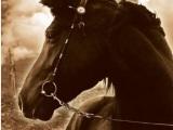 War Horse – MichaelMorpurgo